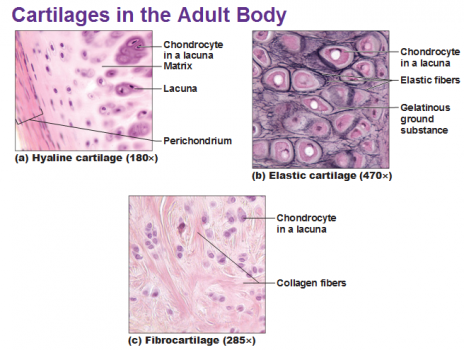 464px-three-types-of-cartilage-hyaline-elastic-and-fibrocartilage